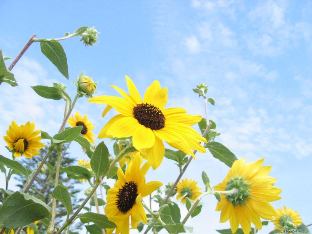 花の壁紙を無料でダウンロード ひまわり フローラ コレクション