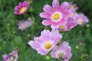 昭和記念公園のコスモス訪問